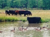 Geese & Cattle